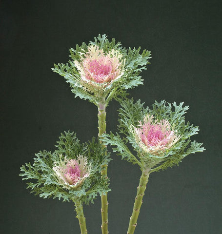 Crane Feather King Kale Seeds