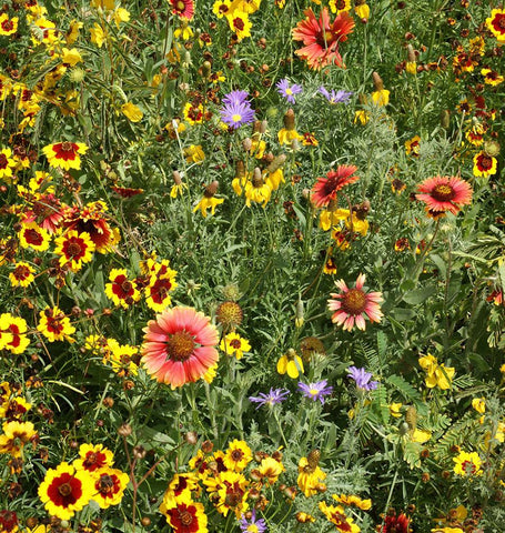 Southern Prairies Wildflowers Blend