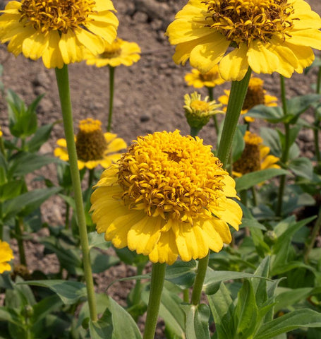 Lemon Cupcake Zinnia Seeds