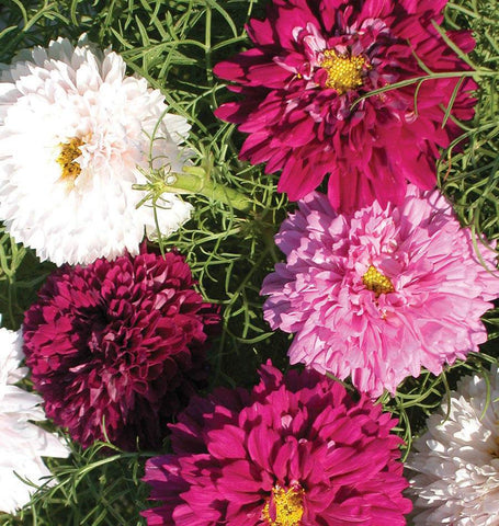 Double Click Assorted cosmos Seeds FL2031 1