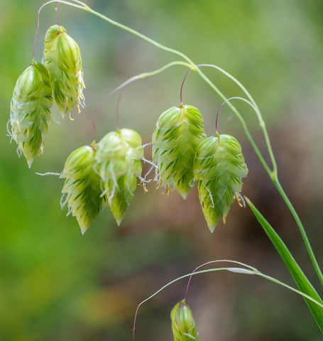 Quaking Grass Seeds