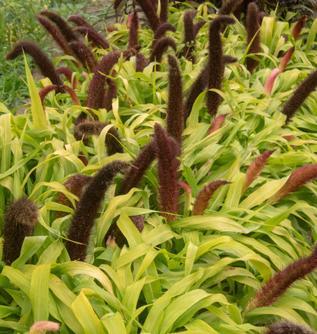 Jade Princess Millet Seeds
