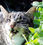 Cat chewing catnip stem