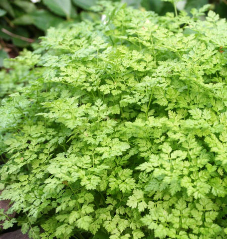Not known Facts About Grow Chervil Seeds