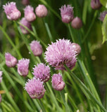 Certified Organic Chives Seeds