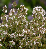 English Thyme seeds