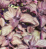 Shiso Seeds Red Perilla