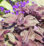 How to Grow Shiso from Seed