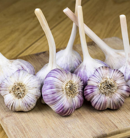 Music Garlic for Fall Planting