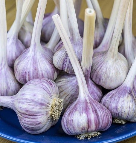 Chesnock Red Garlic for Fall Planting