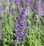 Blue Spear Lavender Seeds