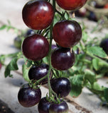 Indigo Rose Organic Tomato Seeds TM799-1