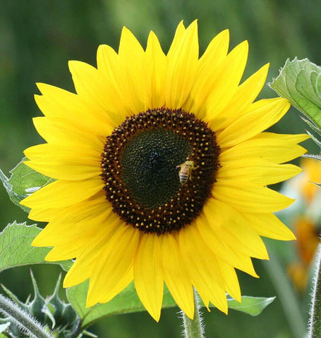 Jerusalem Gold Organic Sunflower Seeds