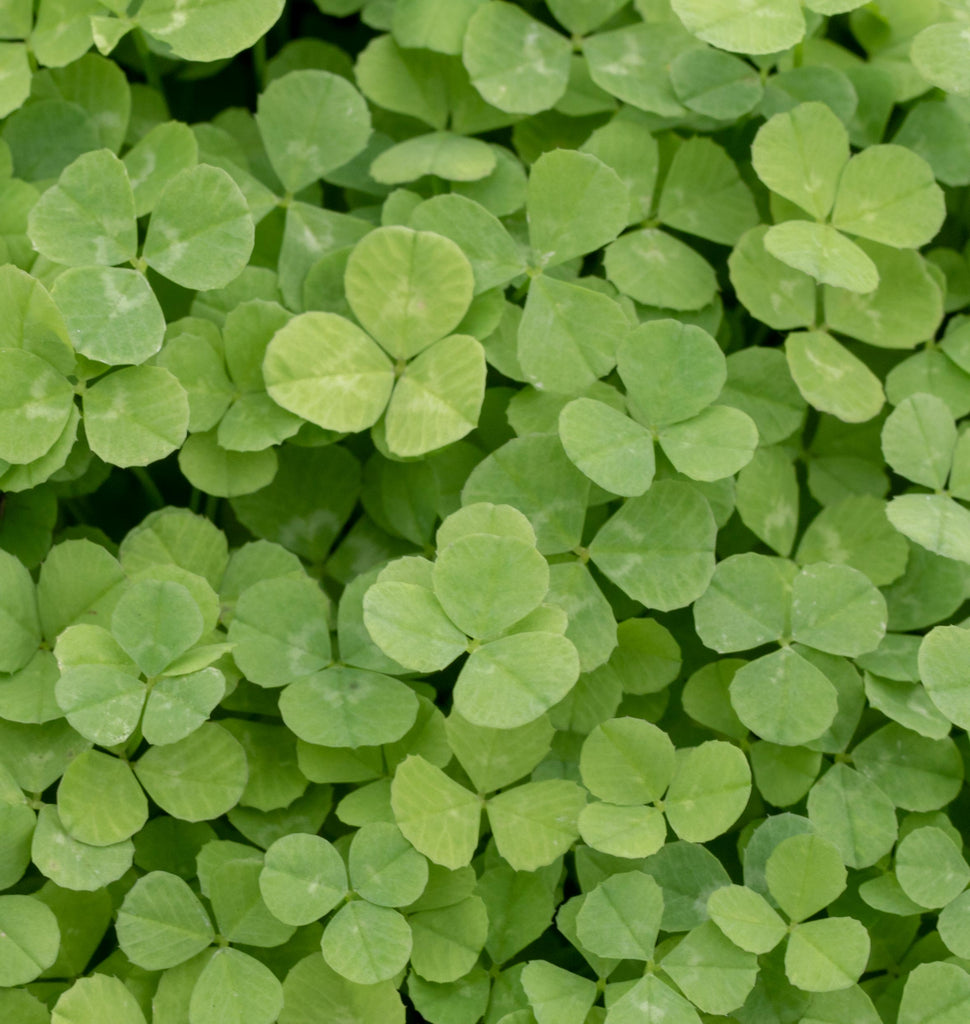 Micro Clover Seeds for Lawn Replacement – West Coast Seeds