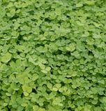 Micro Clover Seed Pelleted