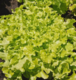 Salad Bowl Lettuce Seeds