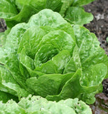 Coastal Star Organic Lettuce Seeds