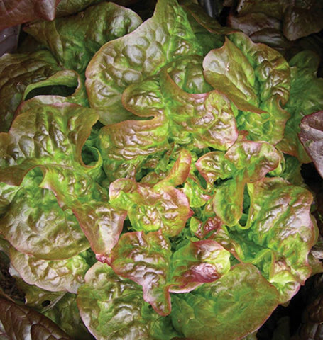 Blushed Butter Oak Lettuce Seeds LT509-1