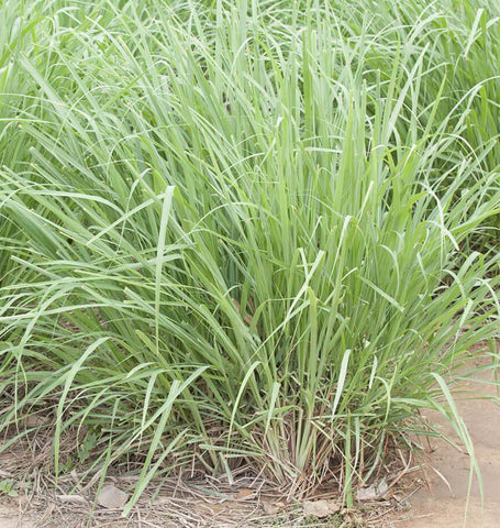 Lemon Grass Seeds