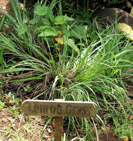 Getting The Lemongrass - How To Grow It And Use It -The Prairie Homestead To Work