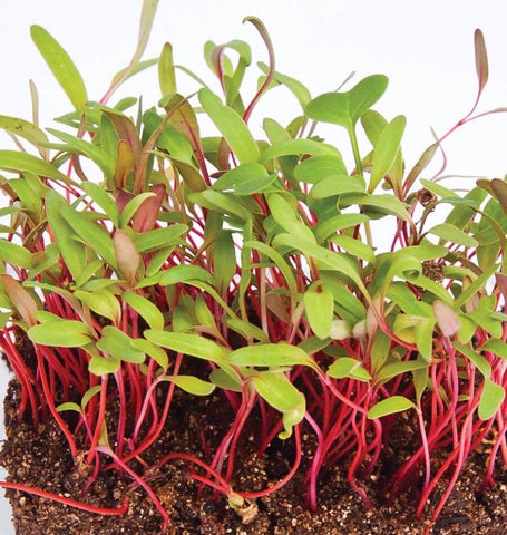 MIcrogreens Swiss Chard Seeds MG758-1