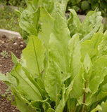 Large Leaf Organic Sorrel