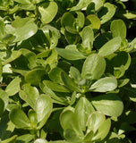 Tall Green Organic Purslane
