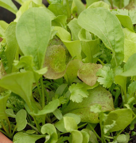 Tangy Mesclun Seed Blend