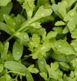 Peppergrass Curly Cress