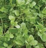 True Watercress