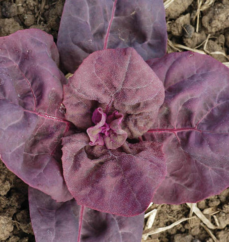 Triple Purple Organic Orach MS551-1