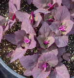 Red Orach Organic Seeds
