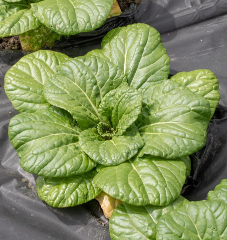 Asian Delight Pac Choi Seeds