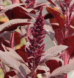 Companion Planting with Amaranth Seeds