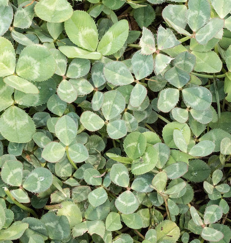 Pelleted Micro Clover Seeds