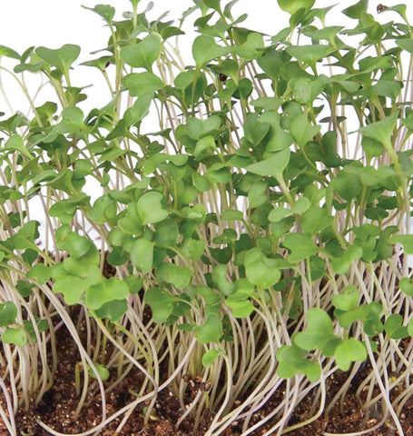 Microgreen Broccoli Organic