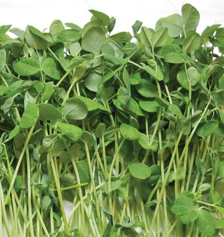 how to grow Microgreens Pea Shoot Seeds