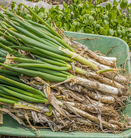 Welsh Onion Organic