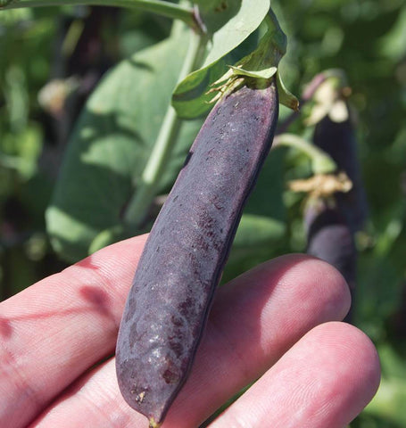 Purple Mist Organic Pea Seeds