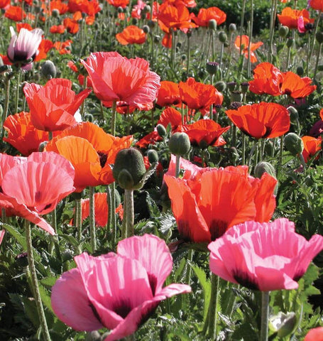 Oriental poppy seeds when to sow