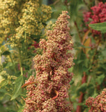 Brightest Brilliant Organic Quinoa Seeds