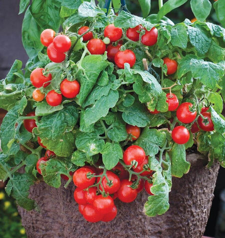 Red Robin Cherry Tomato Seeds TM826-1