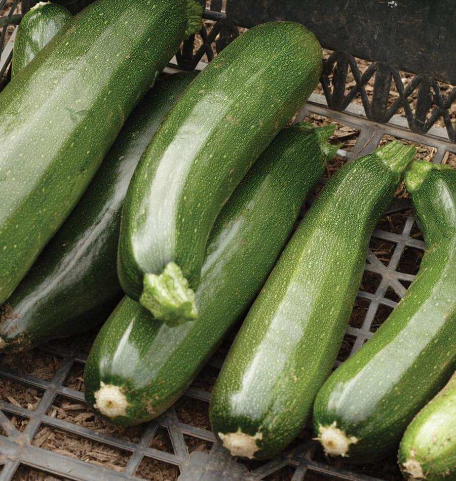 Black Beauty Zucchini Seeds West Coast Seeds