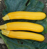 Goldy Zucchini Seeds from West Coast Seeds