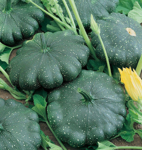 Total Eclipse Pattypan Squash Seeds SQ764-1