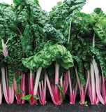 Peppermint Chard Seeds SW763-1