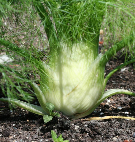 How to grow Florence fennel Selma Fino Fennel Seeds HR1089-1