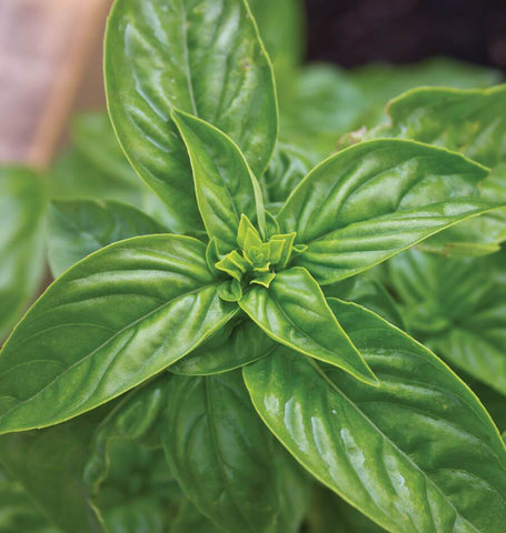 Sweet Basil Seeds HR1034-1
