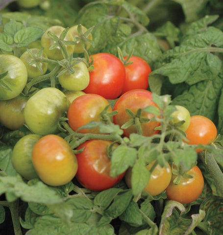 Tiny Tim Cherry Tomato Seeds TM758