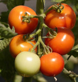 Early Cascade Tomato Seeds